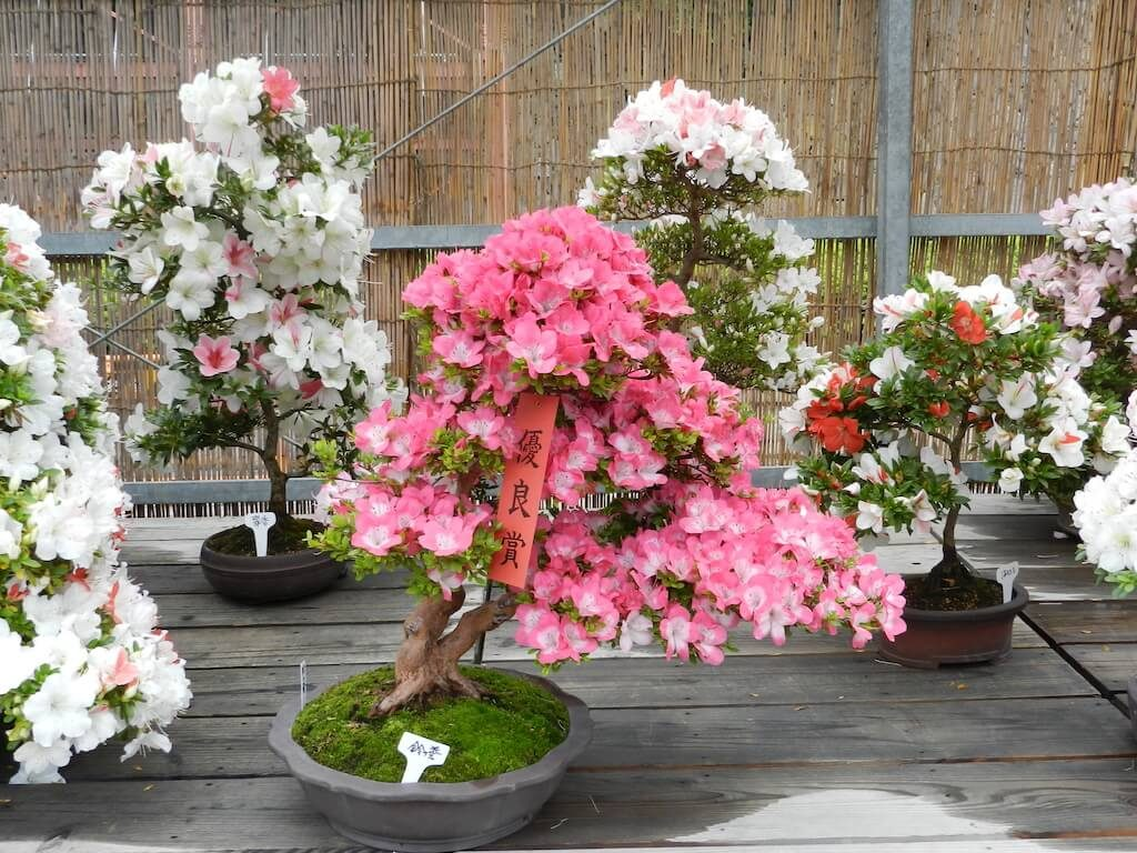 Crysantemum Bonsai Nagoya Castle Festival